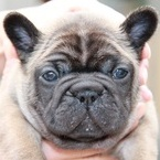 ID:FB446 French Bulldog のイメージ