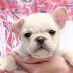 ID:FB454 French Bulldog のイメージ