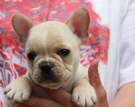 ID:FB455 French Bulldog