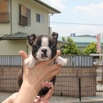 ID:BT92 Boston Terrier のイメージ