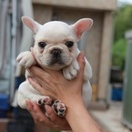 ID:FB472 FrenchBulldogのイメージ