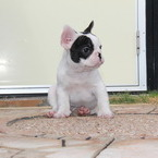 ID:FB474 FrenchBulldogのイメージ
