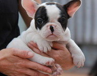 ID:FB474 FrenchBulldog
