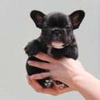 ID:FB480 FrenchBulldogのイメージ