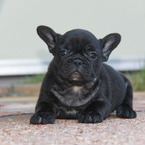 ID:FB481 FrenchBulldog のイメージ