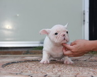 ID:FB482 FrenchBulldog