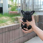 ID:FB483 FrenchBulldogのイメージ