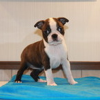 ID:BT102 Boston Terrier のイメージ