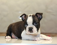 ID:BT119 Boston Terrier