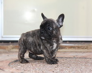 ID:FB527 French Bulldog