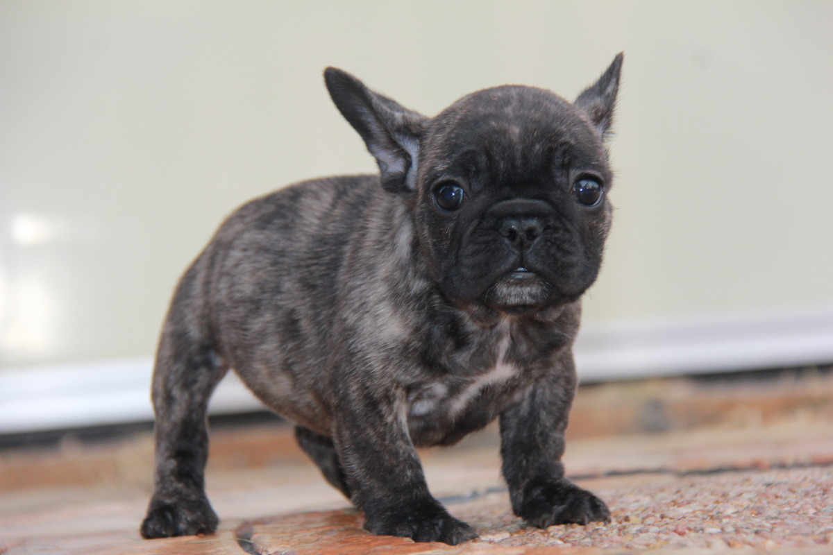 ID:FB528 French Bulldog