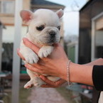 ID:FB530 French Bulldogのイメージ