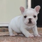 ID:FB529 French Bulldogのイメージ