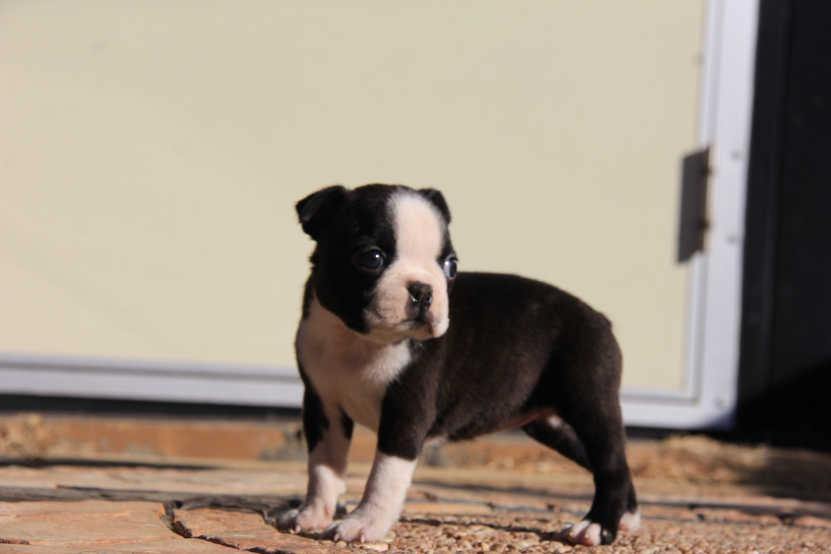 ID:BT121 Boston Terrier