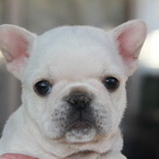 ID:FB532 French Bulldogのイメージ