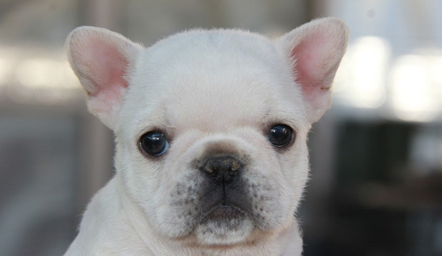ID:FB532 French Bulldog