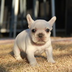ID:FB534 French Bulldog のイメージ