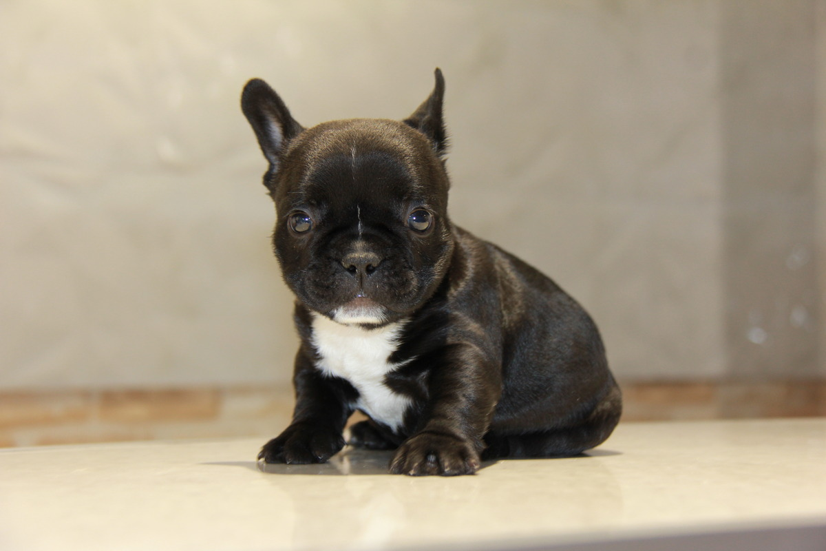 ID:FB535 French Bulldog