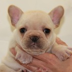 ID:FB536 French Bulldogのイメージ