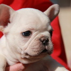 ID:FB539 French Bulldogのイメージ