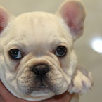 ID:FB540 French Bulldogのイメージ