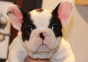 ID:FB541 French Bulldog