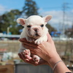 ID:FB542 French Bulldogのイメージ