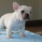 ID:FB543 French Bulldogのイメージ