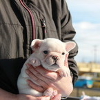 ID:FB545 French Bulldogのイメージ