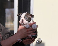 ID:BT125 Boston Terrier