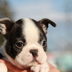 ID:BT126 Boston Terrier のイメージ