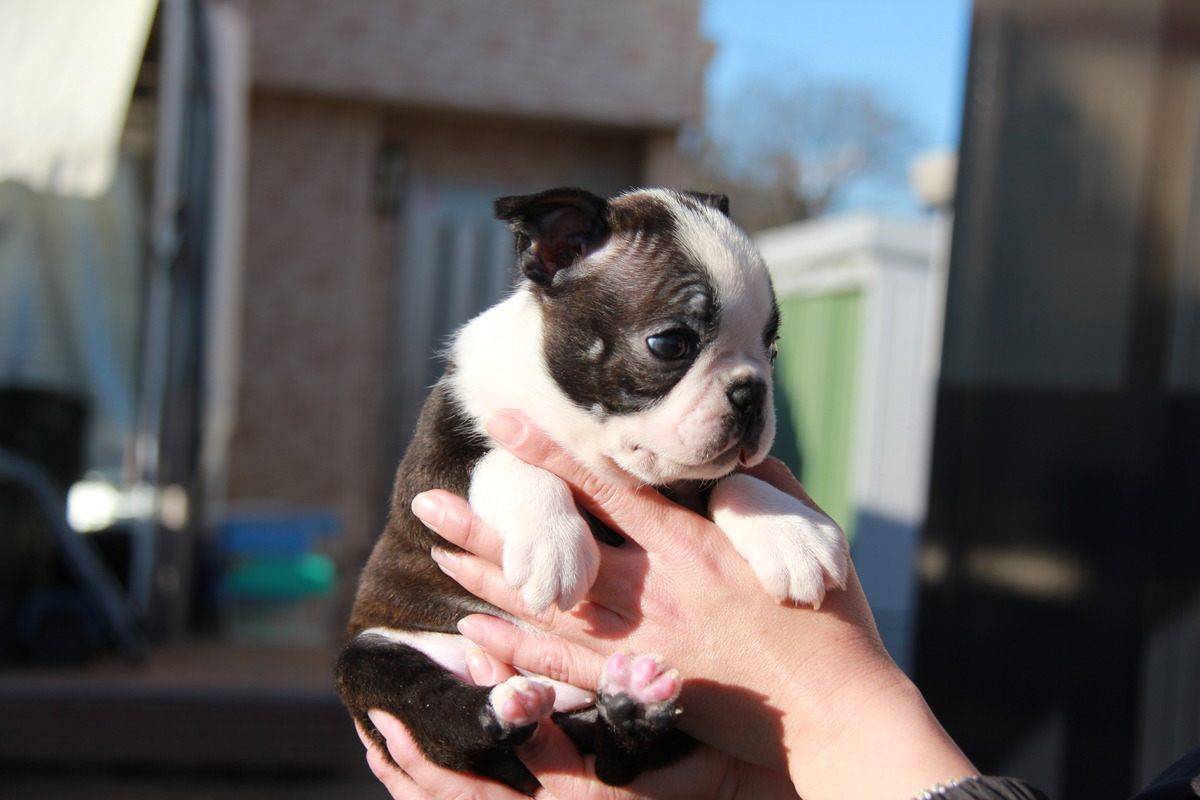 ID:BT127 Boston Terrier