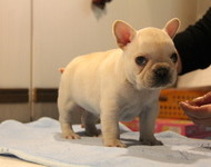 ID:FB538 French Bulldog