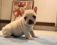 ID:FB537 French Bulldog