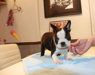 ID:BT123 Boston Terrier