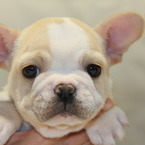 ID:FB548 French Bulldogのイメージ