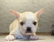 ID:FB548 French Bulldog