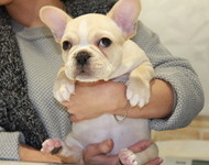 ID:FB546 French Bulldog
