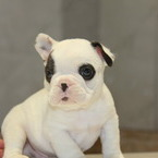 ID:FB550 French Bulldogのイメージ