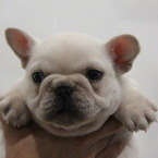 ID:FB551 French Bulldogのイメージ