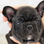 ID:FB554 French Bulldogのイメージ