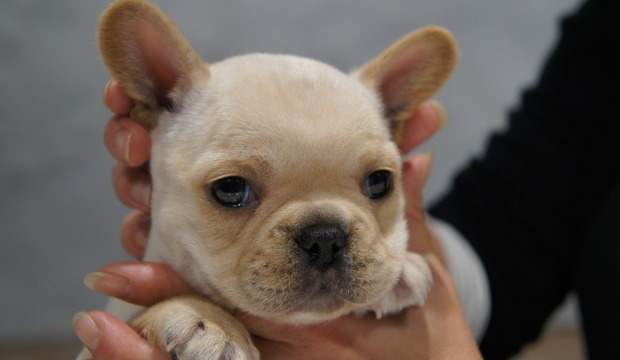 ID:FB558 French Bulldog