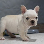 ID:FB559 French Bulldogのイメージ
