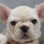 ID:FB560 French Bulldogのイメージ