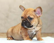 ID:FB566 French Bulldog