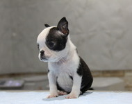 ID:BT129 Boston Terrier