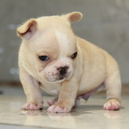 ID:FB583 French Bulldogのイメージ