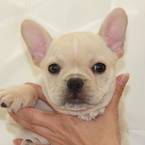 ID:FB585 French Bulldogのイメージ