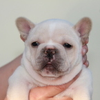 ID:FB581 French Bulldogのイメージ