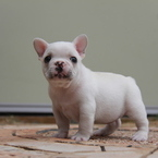ID:FB588 French Bulldogのイメージ